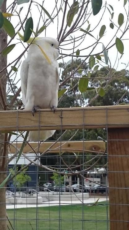 The cockatoos at Fairfield Adventure Park