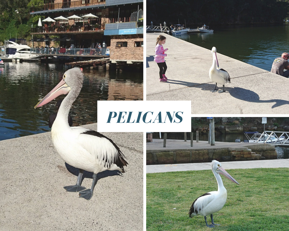 Pelicans at Berowra Waters Marina