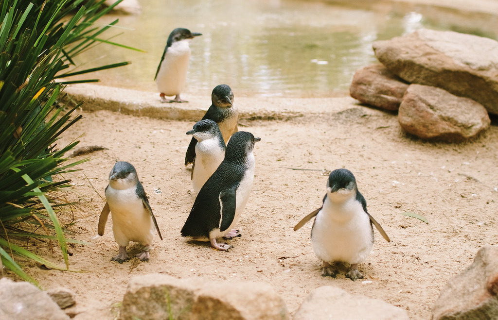 Fairy Penguins can be spotted at Manly during the breeding season from July to February