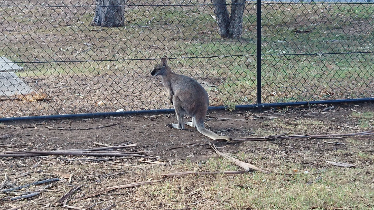 Kangaroos at the Wildlife Exhibit