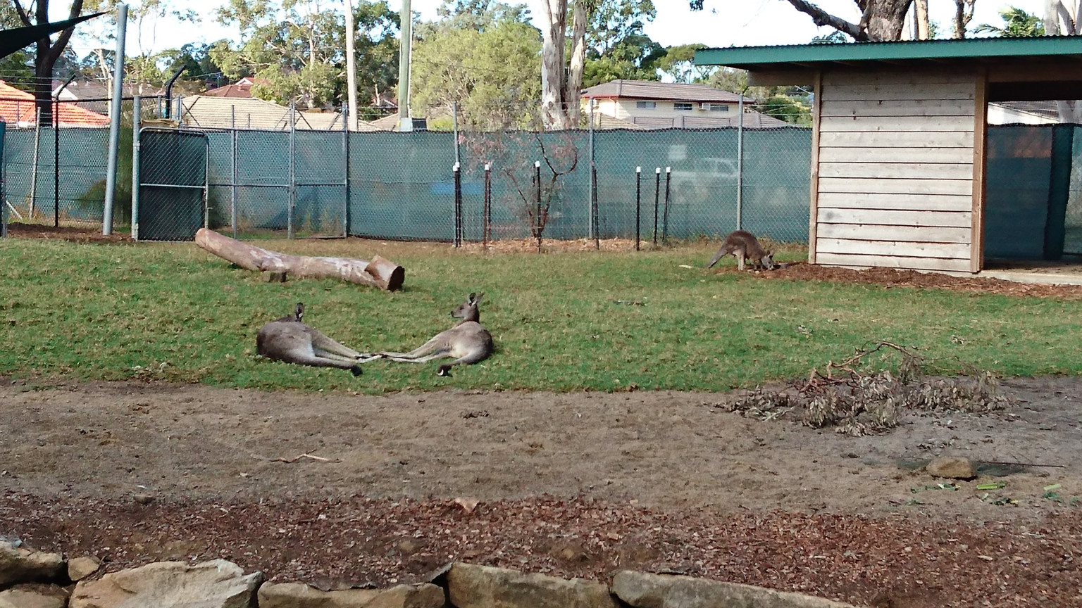 more Kangaroos bathing in the sun